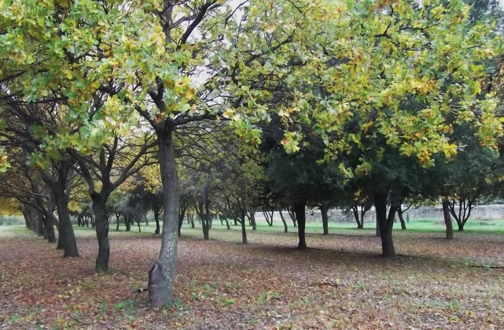 Truffle oaks