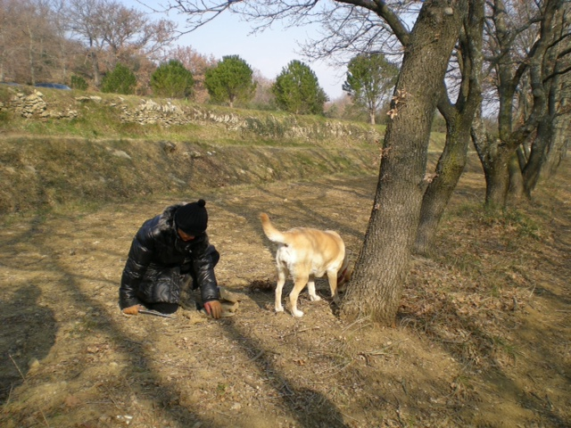 Hunting for truffles under the oaks