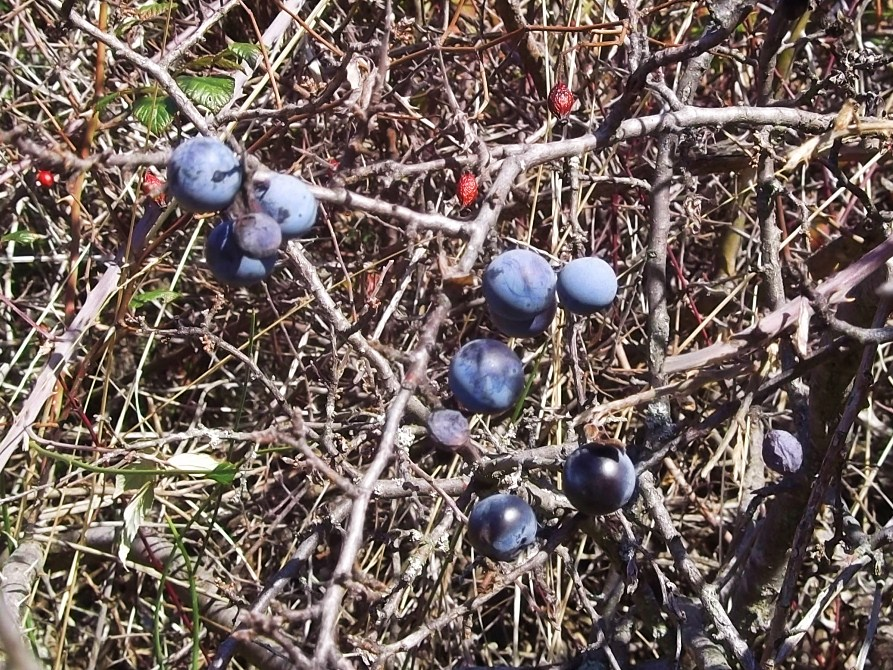 Sloes growing wild near St-Pons