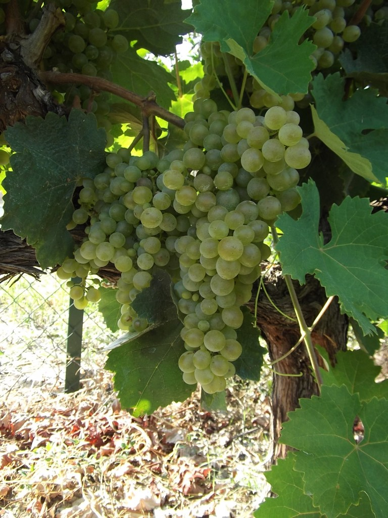 Clairette. Not to be confused with claret, the British name for red Bordeaux.