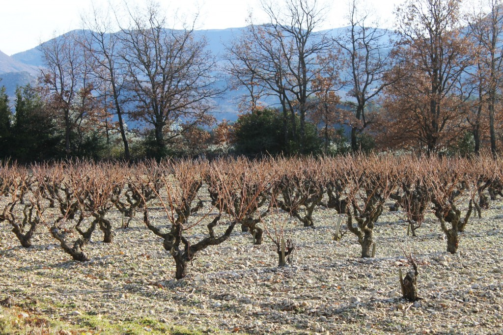 A winter vineyard waiting to be pruned.