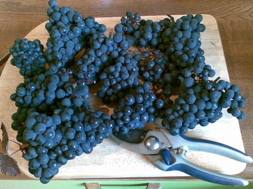 Teinturier grapes grown in a London garden.