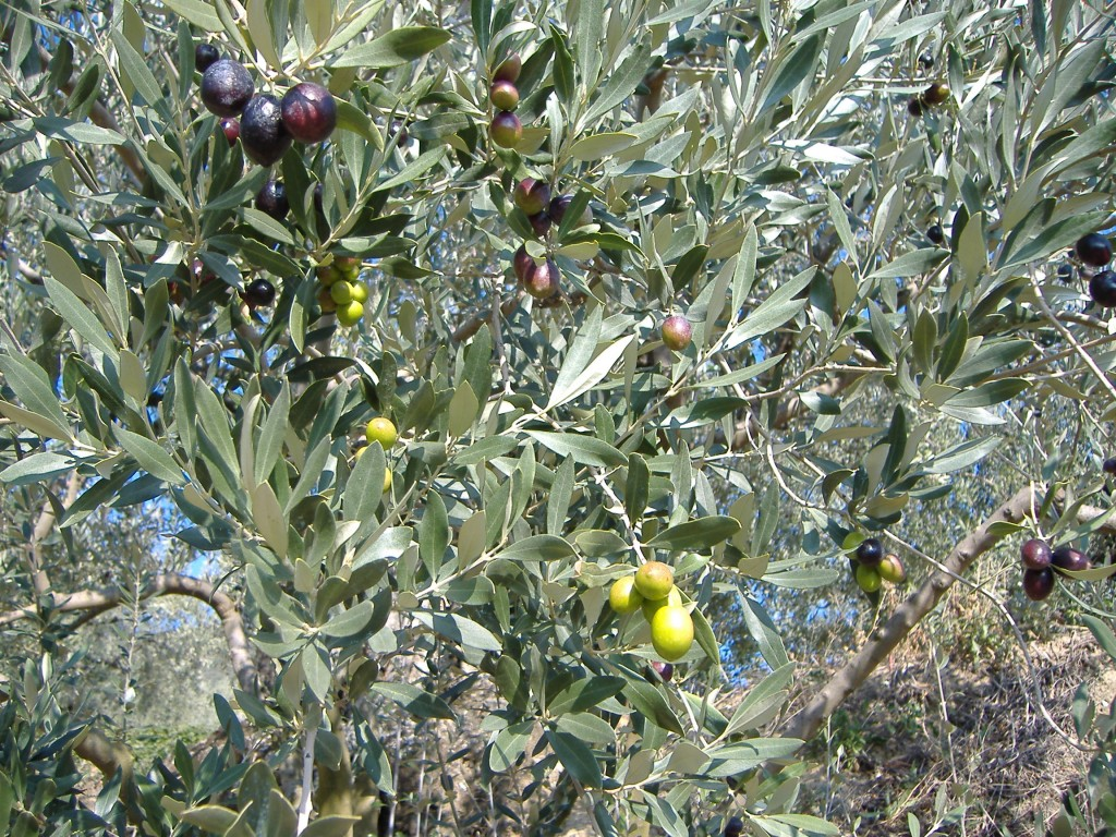 In the olive groves above Nyons. This photo was taken in late October when this tree held a mixture of unripe green olives and some that had already turned purple and black.