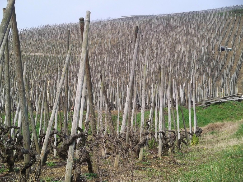 A sea of vines (and their supporting posts) stretch up the hillside at Verenay, Cote-Rotie