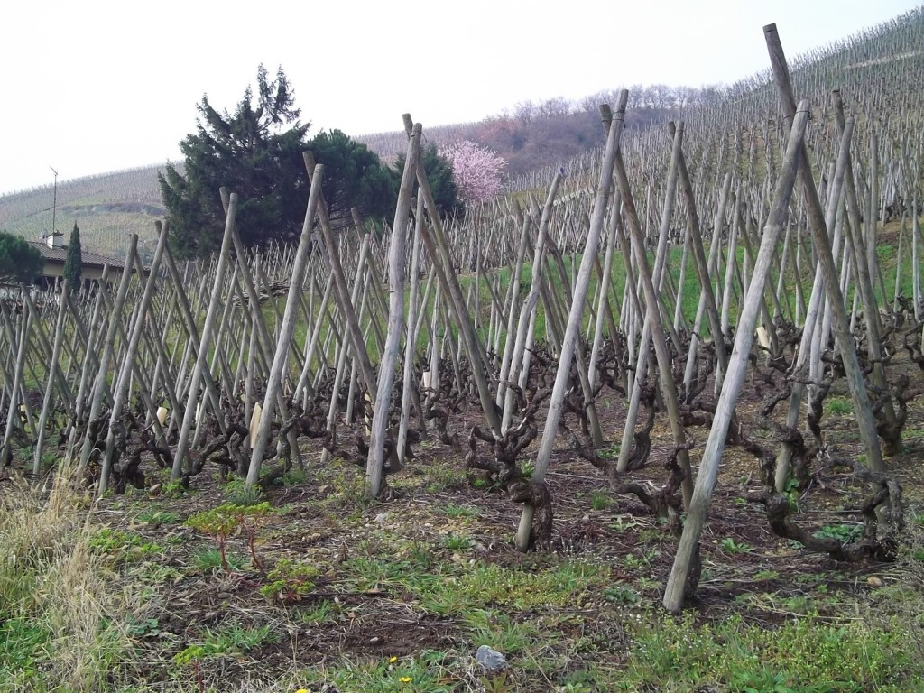 This is Côte-Rôtie, snapped on a grey day in Spring. Notice how the vines are grown up crossed poles, as in Seyssuel. Other than the lack of foliage, the scene is similar to the one above.